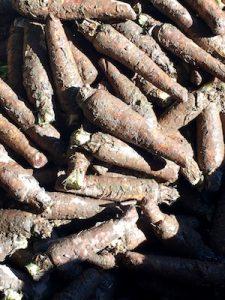 Endive Roots