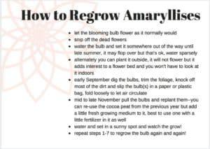 how to regrow amaryllises