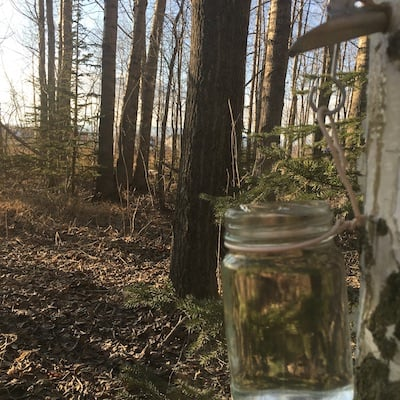 an image showing birch sap