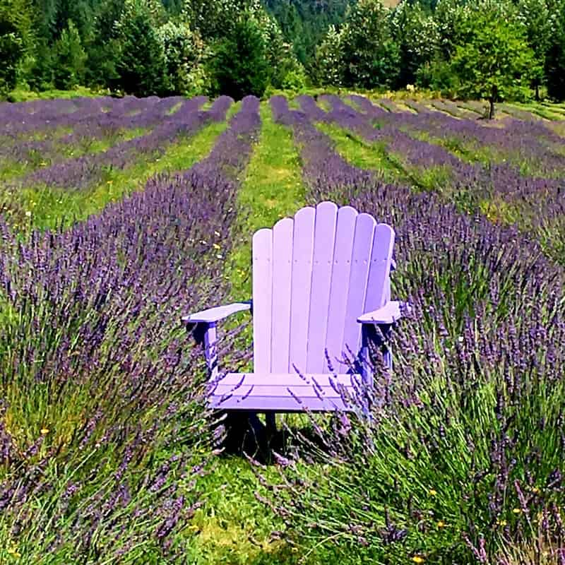 lavender field with purple chair!