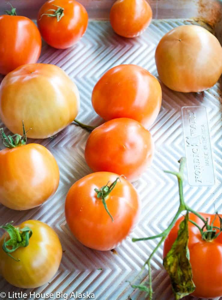 semi-ripe tomatoes